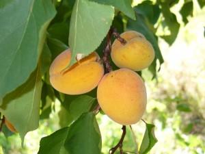 Des_fruits_savoureux_2
